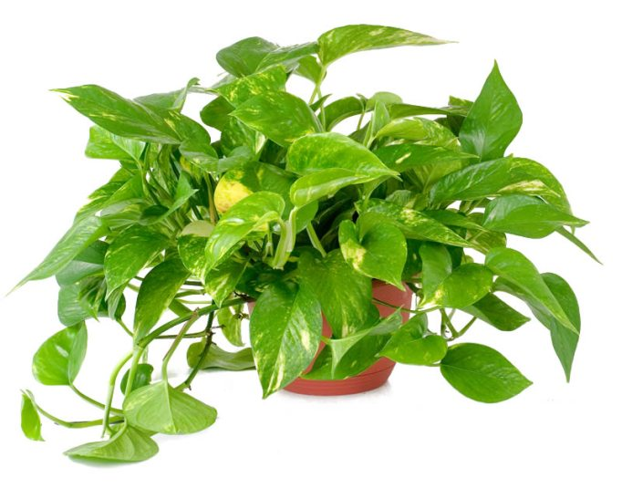 Pothos, Houseplant, Devil's Ivy
