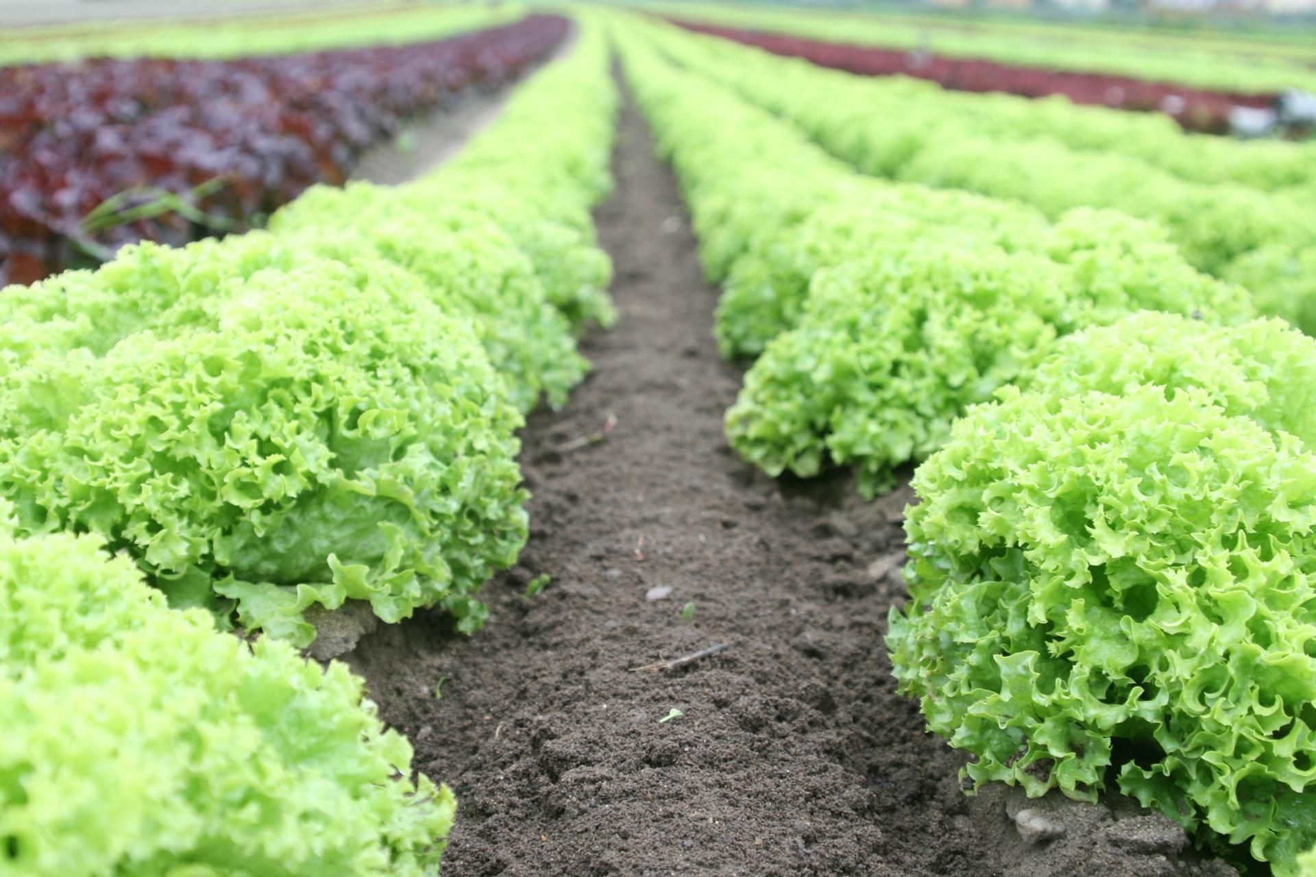 Rows of fresh vegetables in garden.