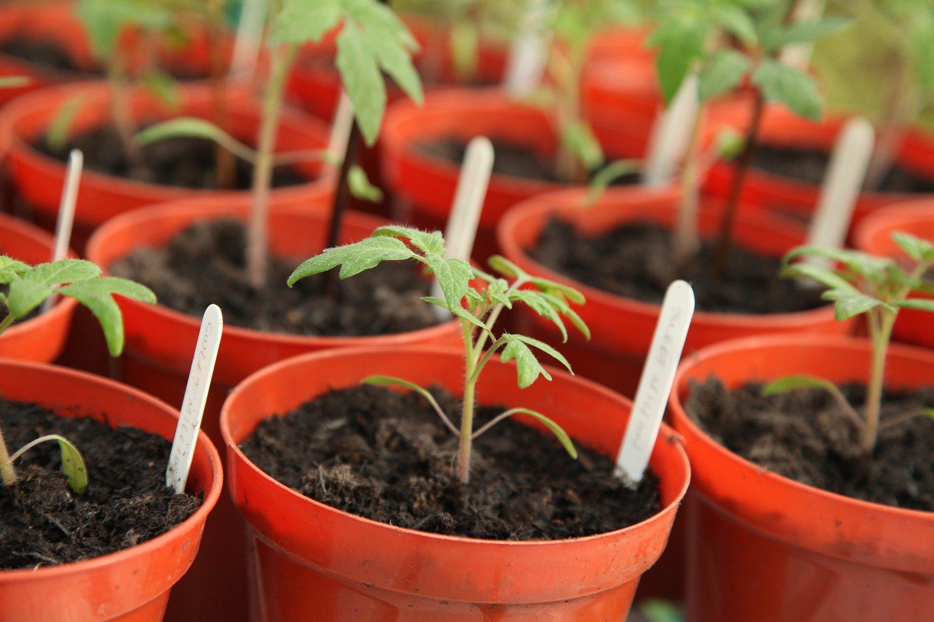 tomato seedlings in pots