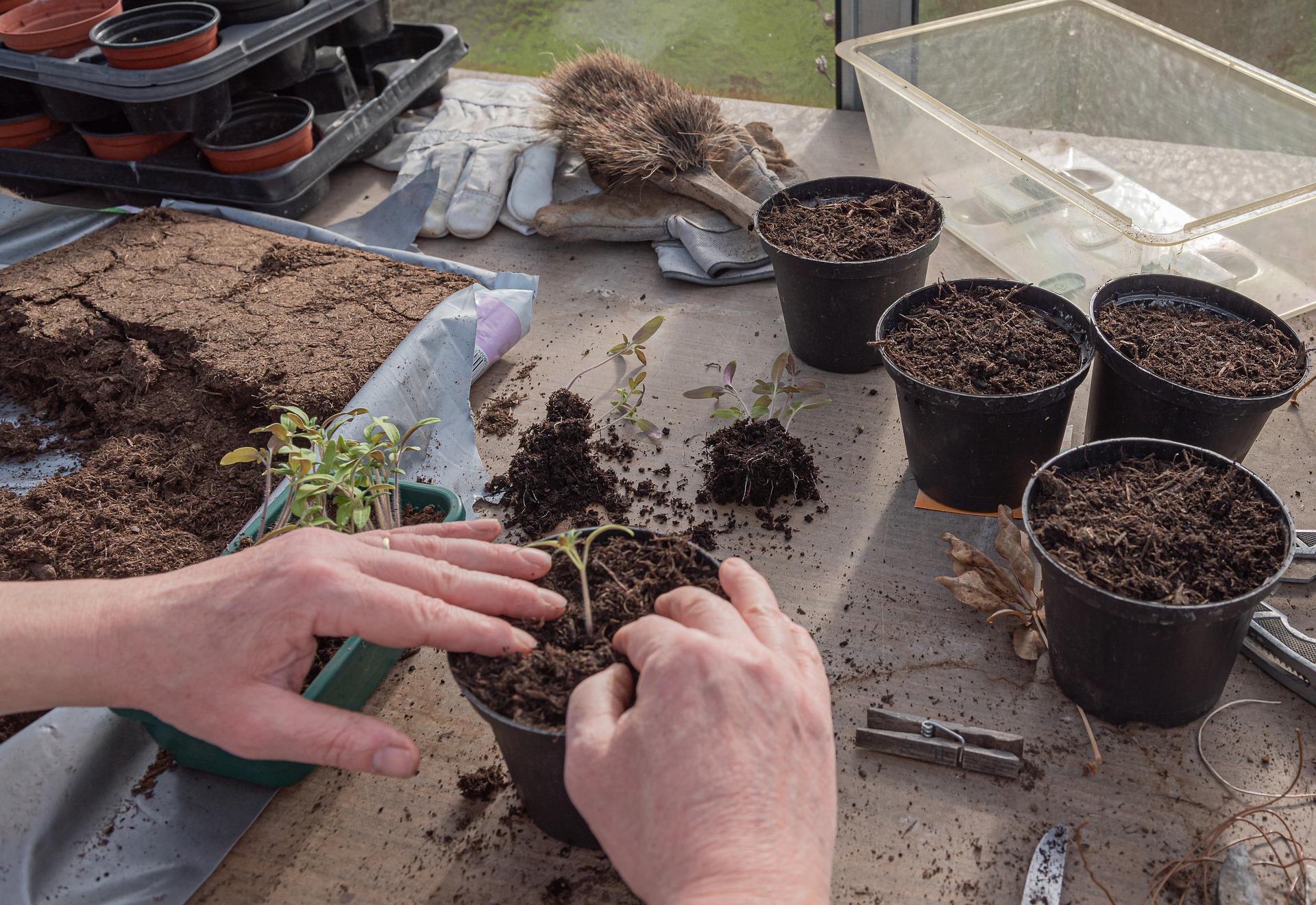 potting soil seedlings